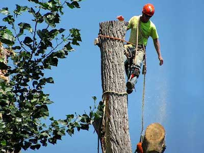 Our tree climber in tree wearing safety gear cutting down large tree for our customer in Little Rock, AR